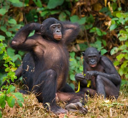 두 명의 보노보가 바닥에 앉아있다. 콩고 민주 공화국. Lola Ya BONOBO 국립 공원. 훌륭한 그림.