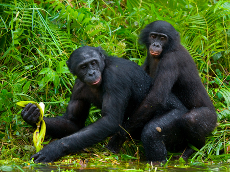 bonobo: Two Bonobos make love with each other. Democratic Republic of Congo. Lola Ya BONOBO National Park. An excellent illustration.