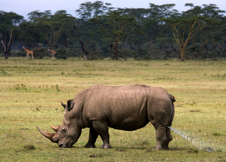 rare animal: Rhinoceros in the savannah, Kenya. National Park. Africa. An excellent illustration.