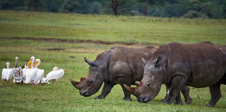 rare animal: Two rhinoceros walking on grass in the national park. Kenya. National Park. Africa. An excellent illustration.
