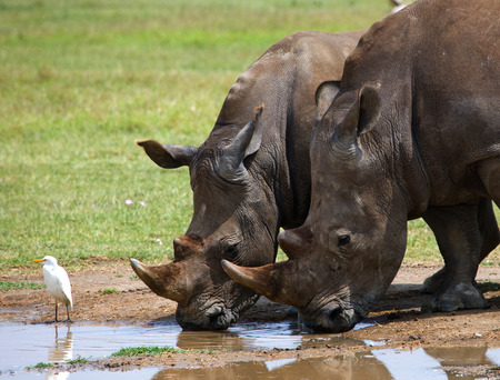 rare animal: Rhinoceros drinking water from puddles. Kenya. National Park. Africa. An excellent illustration. Stock Photo