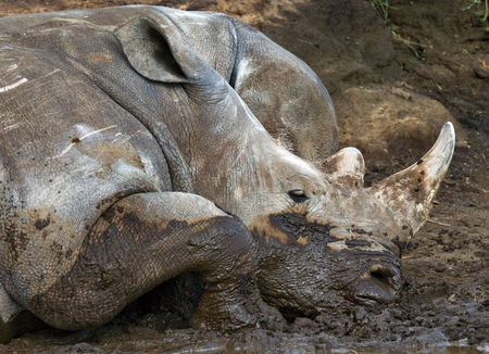rare animal: Rhinoceros lying in the mud. National Park. Africa. An excellent illustration. Stock Photo