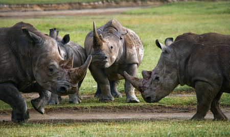 rare animal: Group of rhinos in the national park. Kenya. National Park. Africa. An excellent illustration.