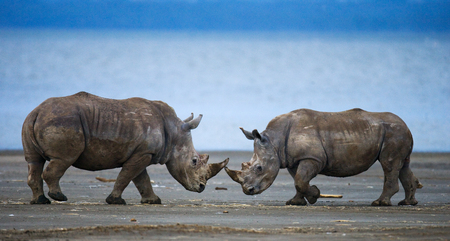 rare animal: Two rhinoceros fighting with each other. Kenya. National Park. Africa. An excellent illustration. Stock Photo