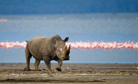 rare animal: Rhinoceros stands in the background of the lake with flamingos. Kenya. National Park. Africa. An excellent illustration.