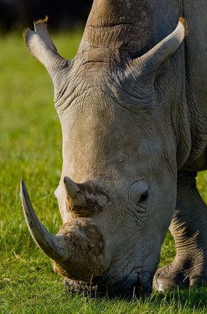rare animal: Portrait of a rhino. Kenya. National Park. Africa. An excellent illustration.