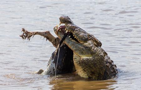 Crocodile eats a wildebeest in the Mara river. Kenya. Maasai Mara. Africa. An excellent illustration.
