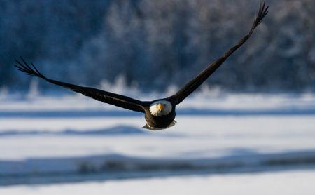 Bald eagle in flight. USA. Alaska. Chilkat River. An excellent illustration.