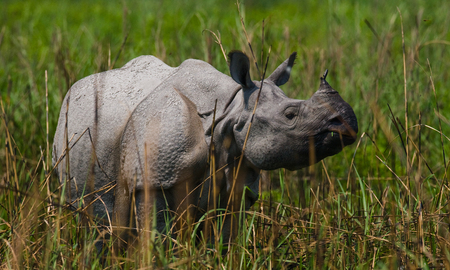 rare animal: Wild Great one-horned rhinoceros standing in the grass. India. Kaziranga National Park. Stock Photo
