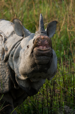 rare animal: Portrait of a Wild Great one-horned rhinoceros. India. Kaziranga National Park.