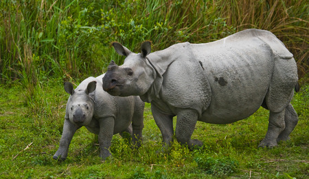 rare animal: The female Great one-horned rhinoceroses and her calf. India. Kaziranga National Park.