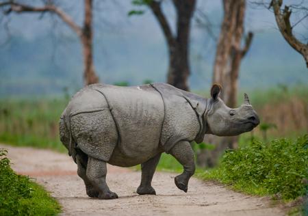 野生の素晴らしい角のサイは、インドの道路に立っています。カジランガ国立公園。