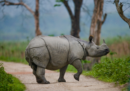 Wild Great one-horned rhinoceros is standing on the road in India. Kaziranga National Park.