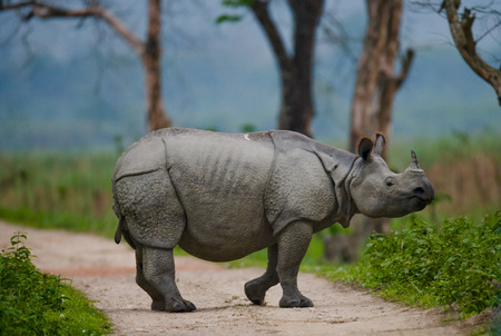 rare animal: Wild Great one-horned rhinoceros is standing on the road in India. Kaziranga National Park.