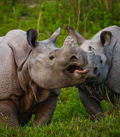 rare animal: Two Wild Great one-horned rhinoceroses in a national park. India. Kaziranga National Park.