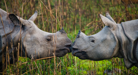 rare animal: Two Wild Great one-horned rhinoceroses looking at each other face to face. India. Kaziranga National Park. Stock Photo