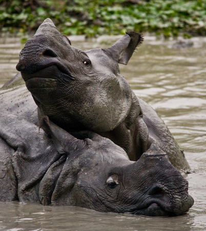 rare animal: Two Wild Great one-horned rhinoceroses lying in a puddle. India. Kaziranga National Park.