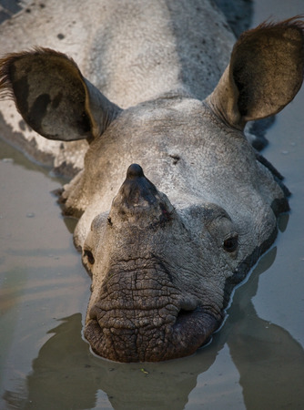 rare animal: Wild Great one-horned rhinoceros lying in a puddle. India. Kaziranga National Park. Stock Photo