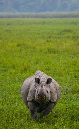Wild Great one-horned rhinoceros is standing on the grass. India. Kaziranga National Park. Stok Fotoğraf
