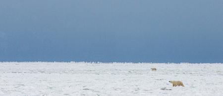 ツンドラのシロクマ。雪。カナダ。優秀なイラスト。