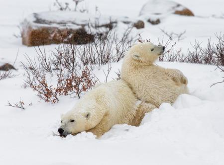 churchill: Polar bear lying in snow in the tundra. Canada. Churchill National Park. An excellent illustration.