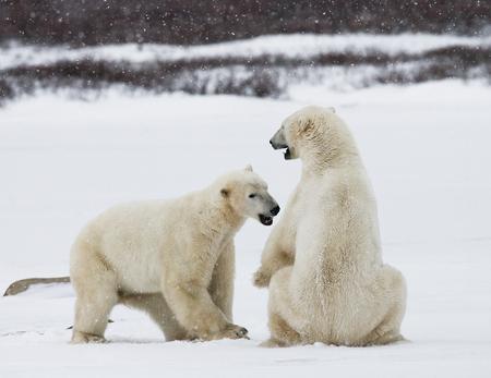Twee ijsberen spelen met elkaar in de toendra. Canada. Een uitstekende illustratie.