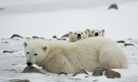 Polar bear with a cubs in the tundra. Canada. An excellent illustration. 版權商用圖片
