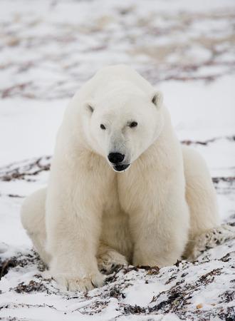 churchill: Polar bear sitting in the snow on the tundra. Canada. Churchill National Park. An excellent illustration. Stock Photo