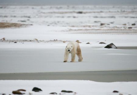 tundra: A polar bear on the tundra. Snow. Canada.