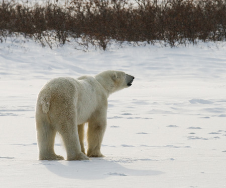 tundra: A polar bear on the tundra. Snow. Canada Stock Photo