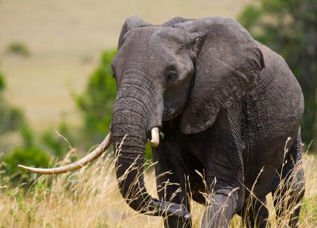 maasai mara: Big elephant in the savanna. Africa. Kenya. Tanzania. Serengeti. Maasai Mara. Stock Photo