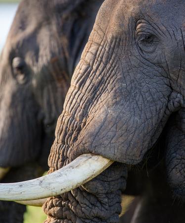poaching: Detail of the head and an elephant tusk. Africa. Kenya. Tanzania. Serengeti. Maasai Mara. Stock Photo