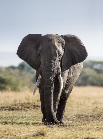 Big elephant in the savanna. Africa. Kenya. Tanzania. Serengeti. Maasai Mara. Stock Photo