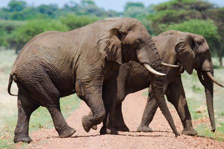 going in: Two elephants are going in Savannah. Africa. Kenya. Tanzania. Serengeti. Maasai Mara.