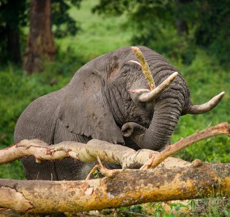maasai mara: Big elephant breaks a tree. Africa. Kenya. Tanzania. Serengeti. Maasai Mara. Stock Photo