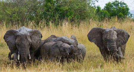 Group of elephants in the savannah. Africa. Kenya. Tanzania. Serengeti. Maasai Mara.