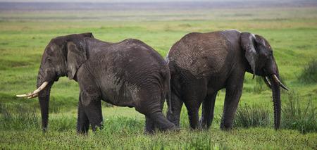 maasai mara: Two elephants in Savannah. Africa. Kenya. Tanzania. Serengeti. Maasai Mara.