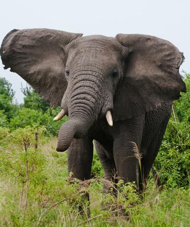 poaching: Big elephant in the savanna. Africa. Kenya. Tanzania. Serengeti. Maasai Mara. Stock Photo