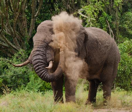 poaching: Elephant throws the dust. Africa. Kenya. Tanzania. Serengeti. Maasai Mara.