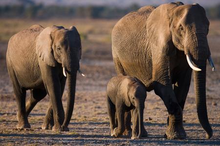 Group of elephants walking on the savannah. Africa. Kenya. Tanzania. Serengeti. Maasai Mara. Stock Photo