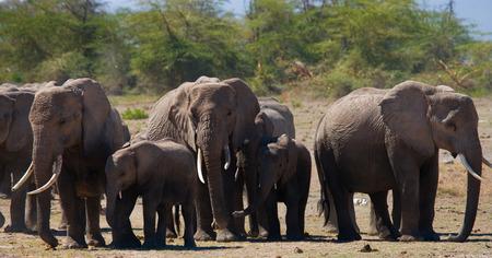 poaching: Group of elephants in the savannah. Africa. Kenya. Tanzania. Serengeti. Maasai Mara.