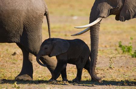 maasai mara: Baby elephant it goes close to his mother. Africa. Kenya. Tanzania. Serengeti. Maasai Mara.