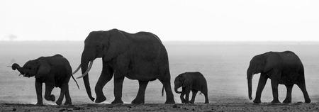 poaching: Group of elephants walking on the savannah. Africa. Kenya. Tanzania. Serengeti. Maasai Mara. Stock Photo