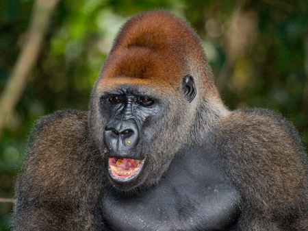 Portrait of lowland gorilla. Republic of the Congo. Stock Photo