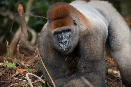lowland: Portrait of lowland gorilla. Republic of the Congo. Stock Photo