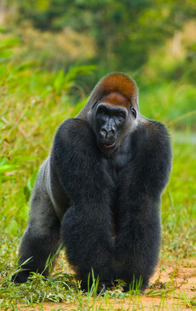 lowland: Lowland gorillas in the wild. Republic of the Congo