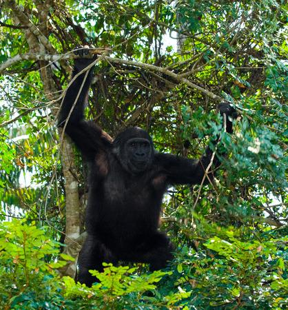 lowland: Lowland gorillas in the wild. Republic of the Congo.
