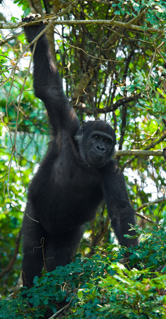 Congo: Lowland gorillas in the wild. Republic of the Congo.