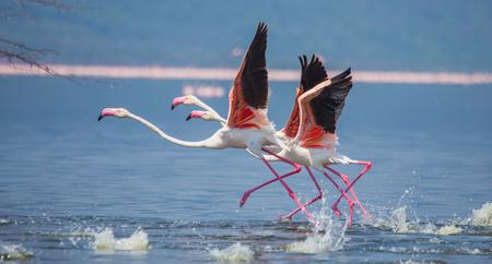飛行中のフラミンゴ。ケニア。アフリカ。ナクル国立公園。ボゴリア湖国立保護区。