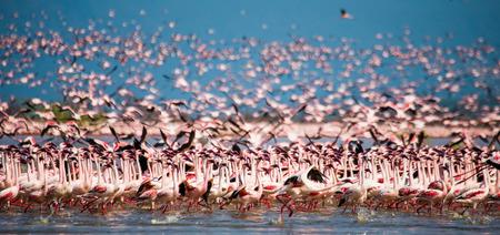 hundreds and thousands: Hundreds of thousands of flamingos on the lake. Kenya. Africa. Nakuru National Park. Lake Bogoria National Reserve.